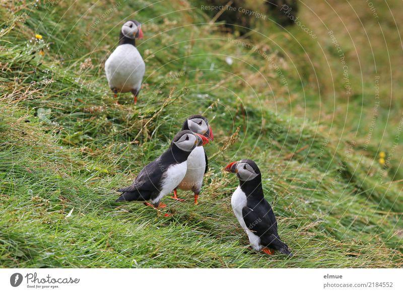 Puffins oOOO Gras Küste Insel Island Wildtier Vogel Papageitaucher Lunde Alkvogel 4 Tier beobachten Kommunizieren stehen Zusammensein klein nah niedlich