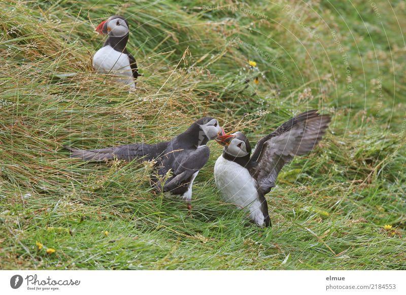 Puffins o /O\ O// Natur Gras Küste Heimaey Island Wildtier Vogel Papageitaucher Alkvogel Lunde 3 Tier beobachten berühren Kommunizieren Konflikt & Streit frei