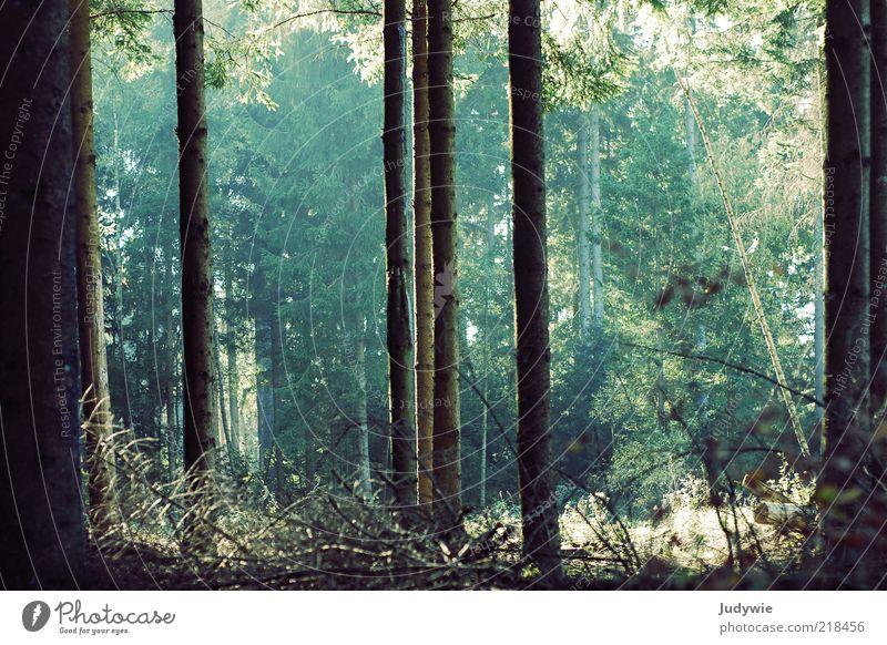 Im Zauberwald Natur alt Baum grün Pflanze Sommer Wald Herbst Stimmung Umwelt groß Wachstum Tanne Baumstamm gerade