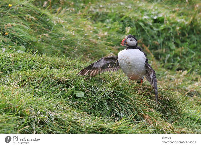 Puffin /O\ Natur Gras Küste Heimaey Island Atlantik Wildtier Vogel Flügel Papageitaucher Alkvogel Lunde beobachten stehen schön klein nah niedlich Romantik