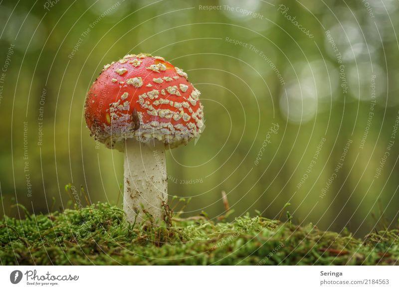 Kleine Nacktschnecke auf leckerem Fliegenpilz Umwelt Natur Landschaft Pflanze Tier Herbst Moos Park Wiese Wald Schnecke 1 Wachstum Pilz Pilzhut Pilzkopf