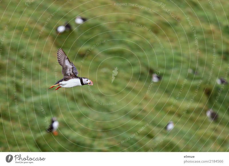 Puffin >O Natur Tier Gras Küste Heimaey Wildtier Vogel Flügel Papageitaucher Lunde Alkvogel fliegen authentisch frei Unendlichkeit klein nah Geschwindigkeit