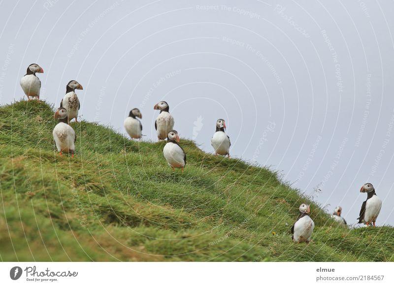 Puffins oooooooooo Ferien & Urlaub & Reisen Natur Gras Küste Wildtier Vogel Papageitaucher Lunde Alkvogel Tiergruppe beobachten Kommunizieren Blick stehen
