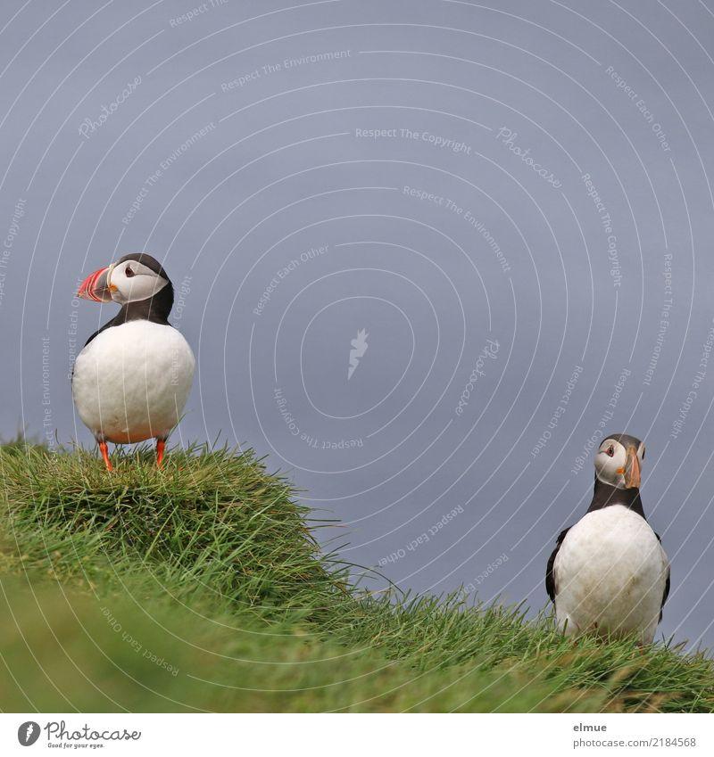 Puffins -O O Natur Gras Küste Wildtier Vogel Papageitaucher Lunde 2 Tier beobachten stehen warten elegant schön klein Glück Lebensfreude Romantik friedlich