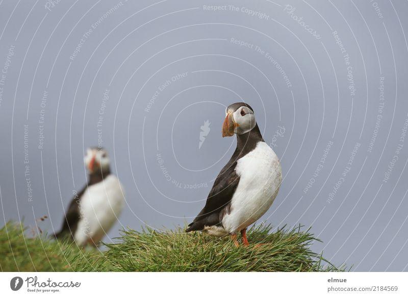 Puffins o O Gras Küste Meer Atlantik Heimaey Wildtier Vogel Papageitaucher Lunde beobachten Blick stehen frei schön klein natürlich Glück Lebensfreude friedlich