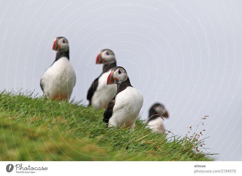 Puffins ooOo Schönes Wetter Gras Küste Meer Atlantik Island Heimaey Wildtier Vogel Papageitaucher Lunde 4 Tier beobachten stehen ästhetisch elegant frei