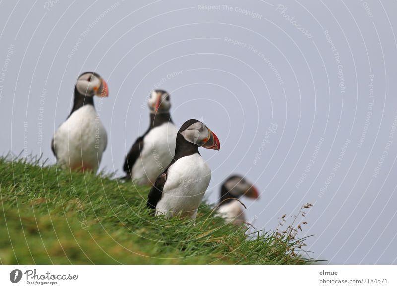 Puffins OoOo Natur Gras Küste Insel Heimaey Atlantik Wildtier Vogel Papageitaucher Lunde Alkenvogel 4 Tier beobachten Blick stehen elegant frei Zusammensein