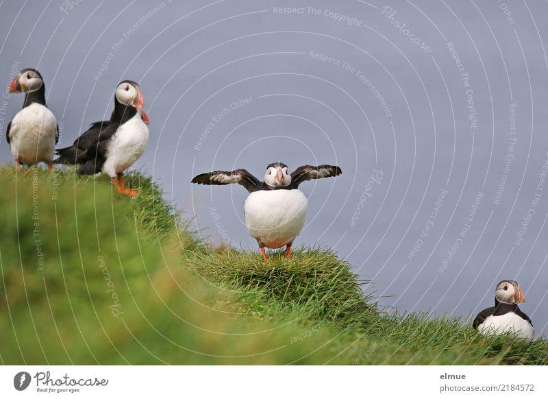 Puffins OOO -O- O Gras Küste Meer Atlantik Heimaey Island Wildtier Vogel Papageitaucher Lunde Tiergruppe beobachten Kommunizieren stehen warten authentisch