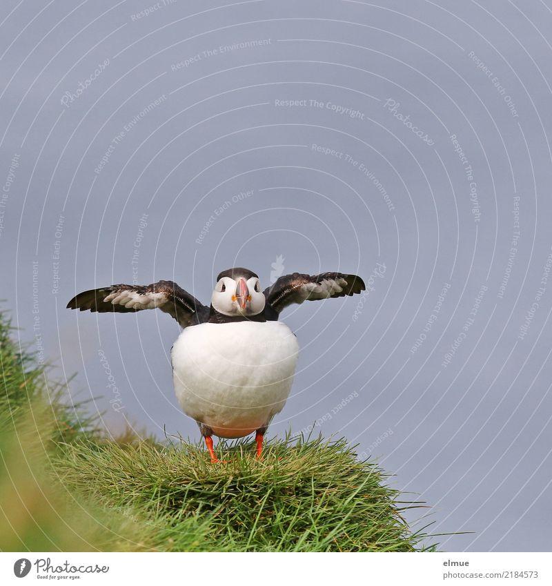 Puffin --8-- Natur Gras Küste Meer Atlantik Island Heimaey Wildtier Vogel Flügel Papageitaucher beobachten Kommunizieren stehen elegant schön klein nah