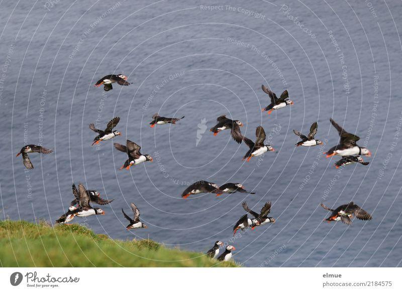 Puffins ~~~~~~ Natur schön Meer Küste Bewegung klein Freiheit fliegen Vogel Zusammensein frei elegant Wildtier Geschwindigkeit Energie Romantik