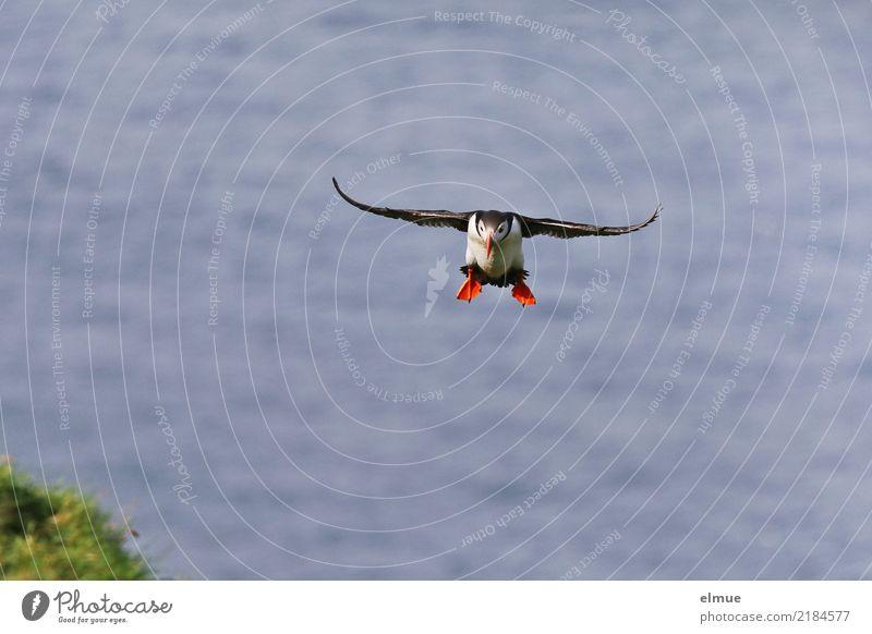 Puffin ~O~ Küste Meer Atlantik Heimaey Island Vogel Papageitaucher Lunde fliegen ästhetisch außergewöhnlich klein niedlich Lebensfreude Romantik Fernweh