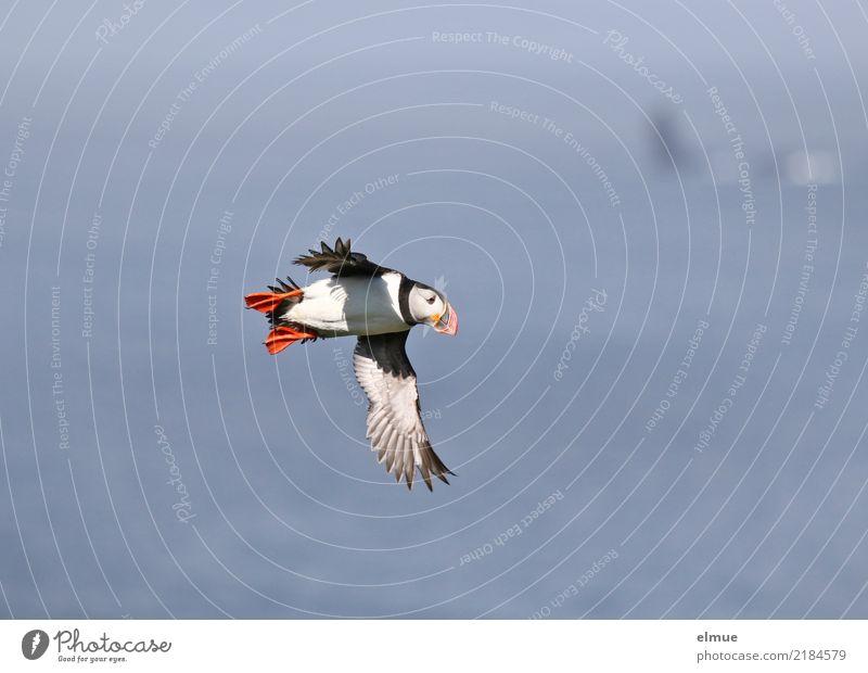 Puffin ~O~ Küste Meer Atlantik Heimaey Island Wildtier Vogel Papageitaucher beobachten fliegen klein nah niedlich Lebensfreude Romantik Fernweh Abenteuer