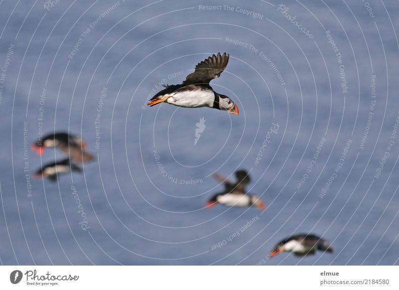 Puffins ooOoo Natur Küste Meer Atlantik Wildtier Vogel Papageitaucher Lunde Schwarm fliegen authentisch außergewöhnlich frei Zusammensein Geschwindigkeit