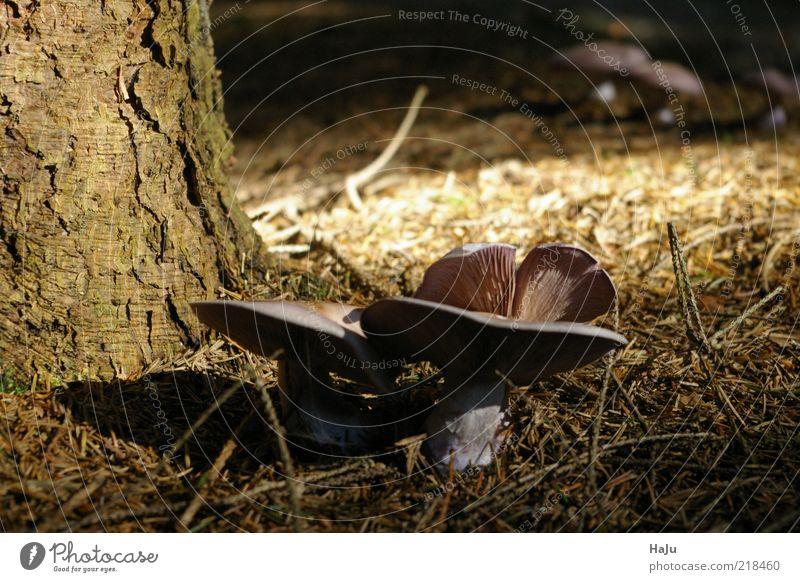 Pilze Natur Herbst Pilzhut Stimmung Wald Waldboden Gedeckte Farben Außenaufnahme Detailaufnahme Menschenleer Tag Sonnenlicht Schwache Tiefenschärfe
