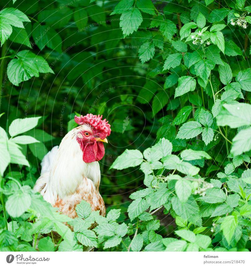Gockel im Grünen Umwelt Natur Pflanze Tier Sträucher Blatt Blüte Nutztier Vogel Tiergesicht Feder Kamm Schnabel Auge Hahn Haushuhn 1 authentisch natürlich