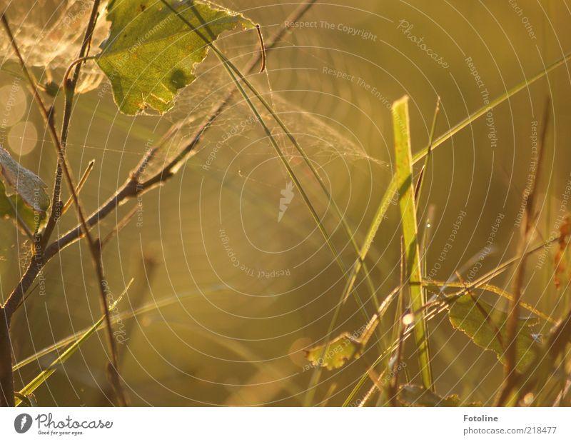Natur pur! Umwelt Pflanze Sonnenaufgang Sonnenuntergang Herbst Gras Sträucher Blatt Wildpflanze hell natürlich braun grün Spinngewebe Spinnennetz Farbfoto