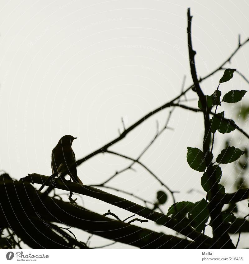 Scherenschnitt Umwelt Natur Tier Pflanze Baum Ast Vogel 1 hocken sitzen Zweige u. Äste Blatt Hintergrund neutral Schnabel Farbfoto Gedeckte Farben Außenaufnahme