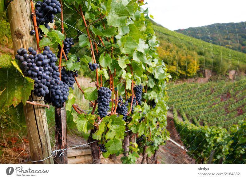 Gute Weinlage Frucht Gesunde Ernährung Tourismus Landwirtschaft Forstwirtschaft Winzer Herbst Nutzpflanze Weintrauben Weinberg Duft ästhetisch authentisch