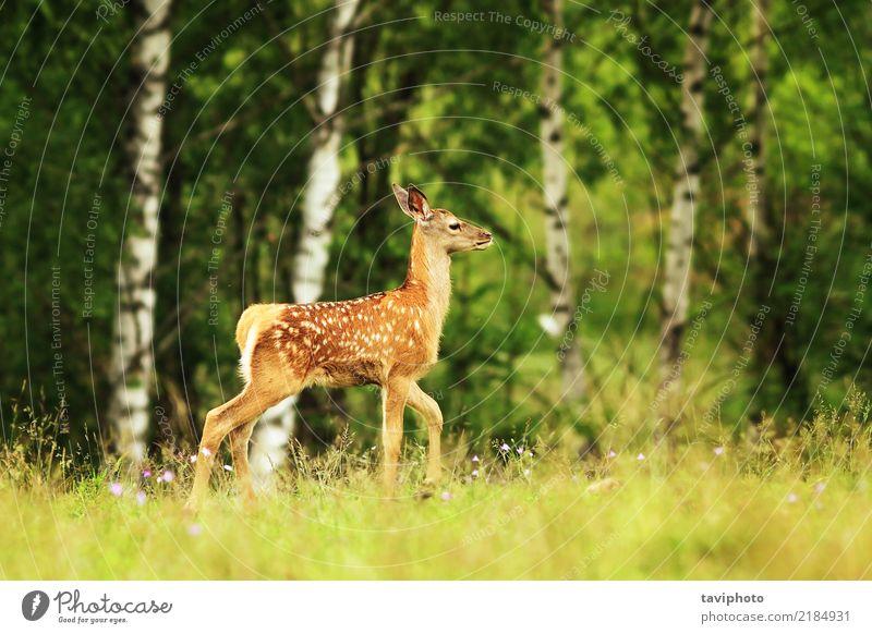 Rotwildjunge in einer Lichtung schön Sommer Kind Baby Frau Erwachsene Natur Tier Gras Wiese Wald Pelzmantel Wildtier klein natürlich niedlich braun rot