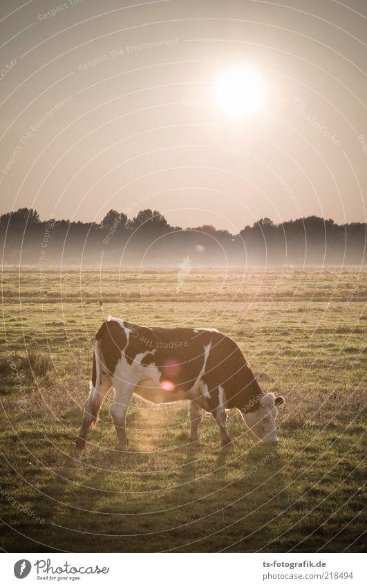 Oktoberwiese Natur Sonne Pflanze Tier Wiese Gras Landschaft Nebel Wetter Umwelt Landwirtschaft Kuh Fressen Bioprodukte einzeln Klischee