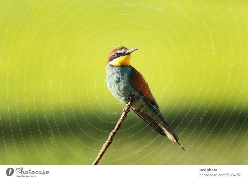 Europäischer Bienenfresser auf Zweig exotisch schön Sommer Natur Tier Vogel sitzen hell wild blau gelb grün rot Farbe Merops Apiaster Europäer Tierwelt Esser