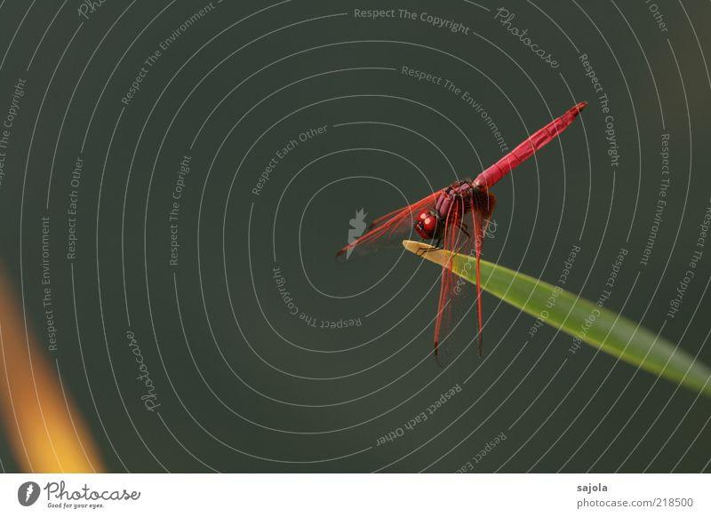 think pink again Natur Tier Wildtier Insekt Libelle trithemis aurora 1 sitzen warten ästhetisch rosa Entwicklung verwandeln Schutz Farbfoto Außenaufnahme