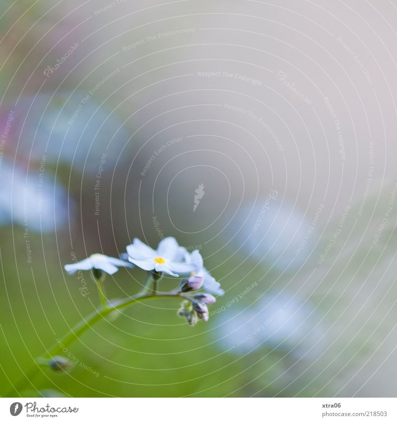 sanfter morgen Natur Blume grün blau Pflanze Blüte Umwelt Blühend Morgen Vergißmeinnicht