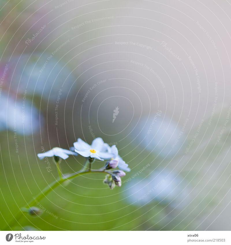 sanfter morgen Umwelt Natur Pflanze Blume Blüte blau grün Farbfoto Außenaufnahme Nahaufnahme Detailaufnahme Textfreiraum oben Morgen Schwache Tiefenschärfe