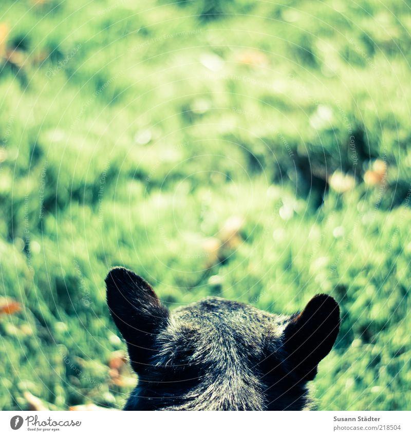 Lauscher offen halten Wiese Tier Haustier Hund 1 hören Pirsch klein Fell Farbfoto Nahaufnahme Detailaufnahme Menschenleer Textfreiraum links Textfreiraum rechts