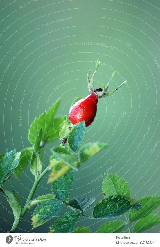 taufrisch Natur grün Pflanze rot Blatt Herbst hell Umwelt Rose Sträucher natürlich einzeln Blume Wildpflanze Wildrosen
