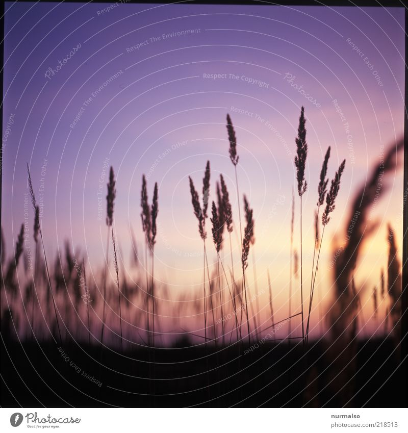 es war Sommer . . . Umwelt Natur Landschaft Pflanze Sonnenaufgang Sonnenuntergang Schönes Wetter Gras Wildpflanze Wiese Feld ästhetisch natürlich schön Stimmung