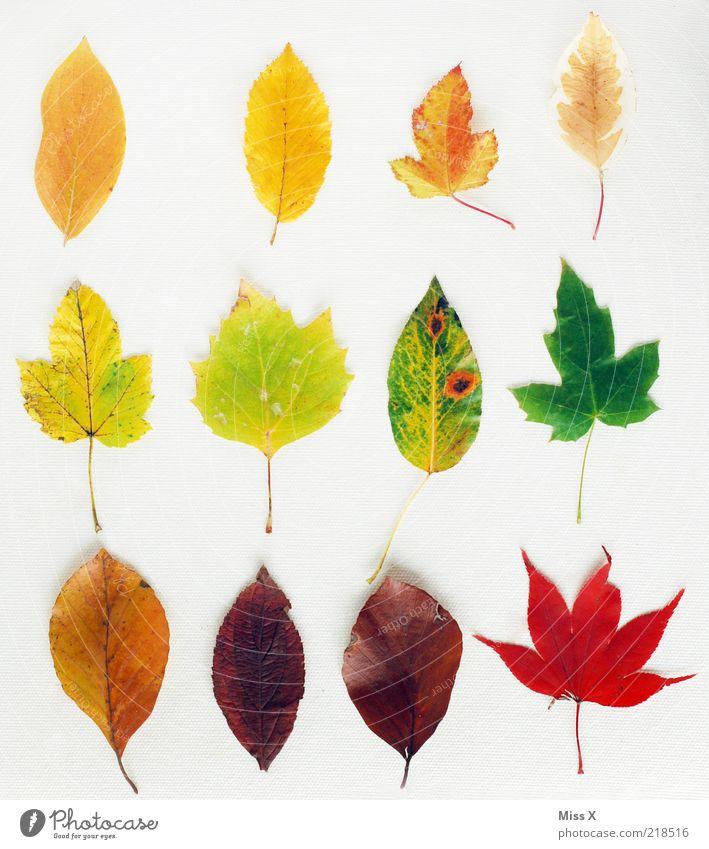 Sammlung Blatt Farbe Herbst mehrere liegen Freisteller Reihe trocken viele mehrfarbig Verschiedenheit getrocknet Herbstlaub herbstlich