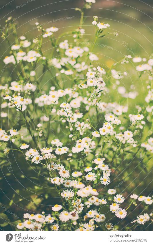 In tiefer Verbundenheit: Sommer'10 Natur weiß Blume Pflanze Wiese Blüte Umwelt Blumenwiese Grünpflanze Frühlingsgefühle Nutzpflanze Wildpflanze
