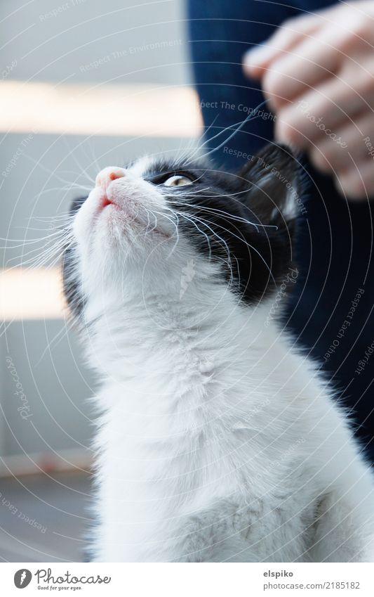 Schau mal! Ein Schmetterling! Tier Haustier Katze Fell 1 schön kuschlig klein nah Neugier niedlich schwarz weiß Katzenbaby Hauskatze Katzenauge Nase Ohr