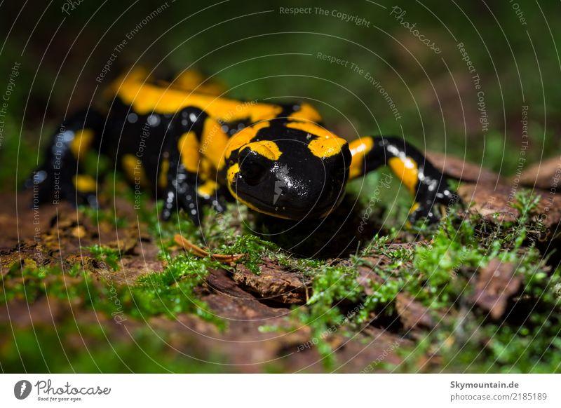 Feuersalamander Umwelt Natur Pflanze Tier Sommer Herbst Schönes Wetter Baum Moos Wald Wildtier 1 braun gelb grün schwarz weiß Umweltschutz Farbfoto mehrfarbig