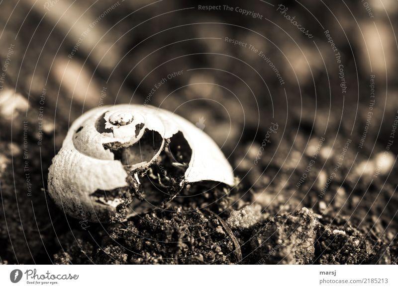 Verfall eines Schneckenhäuschens, das auf der Erde liegt. Schneckenhaus Strukturen & Formen Spirale alt authentisch dunkel einfach gruselig natürlich trist