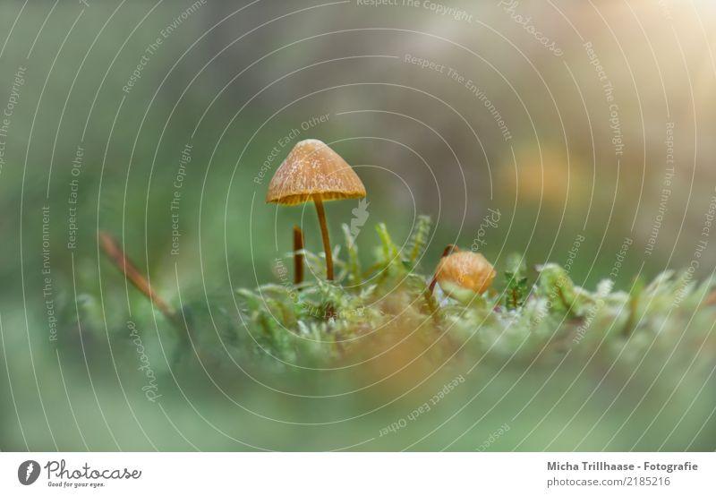 Kleiner Pilz im Moos Umwelt Natur Pflanze Sonne Sonnenlicht Herbst Schönes Wetter Gras Wildpflanze Pilzhut Wald Blühend leuchten dünn glänzend klein natürlich