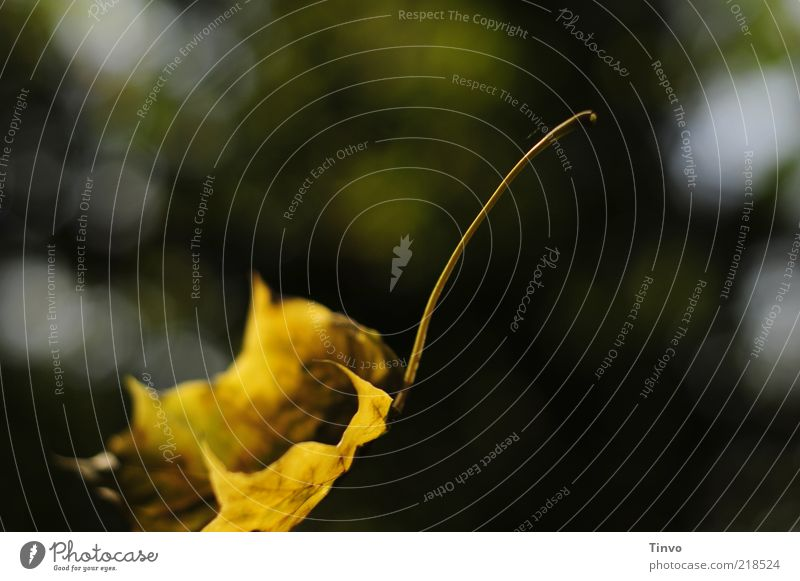 Loslassen Natur gelb Herbst fliegen gold Wandel & Veränderung fallen Vergänglichkeit leicht Leichtigkeit einzeln Anschnitt Momentaufnahme Bildausschnitt