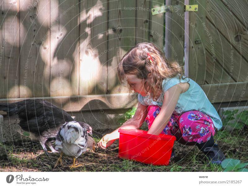 Ein Mädchen im Kleinkindalter füttert Hühner im Garten Kind Landwirtschaft Forstwirtschaft Mensch 1 3-8 Jahre Kindheit Natur Tier Vogel füttern Zusammensein