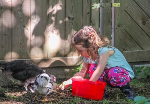Ein Mädchen mit Zöpfen im Kleinkindalter füttert Hühner im Garten aus einer roten Box Kind Landwirtschaft Forstwirtschaft Mensch 1 3-8 Jahre Kindheit Natur Tier