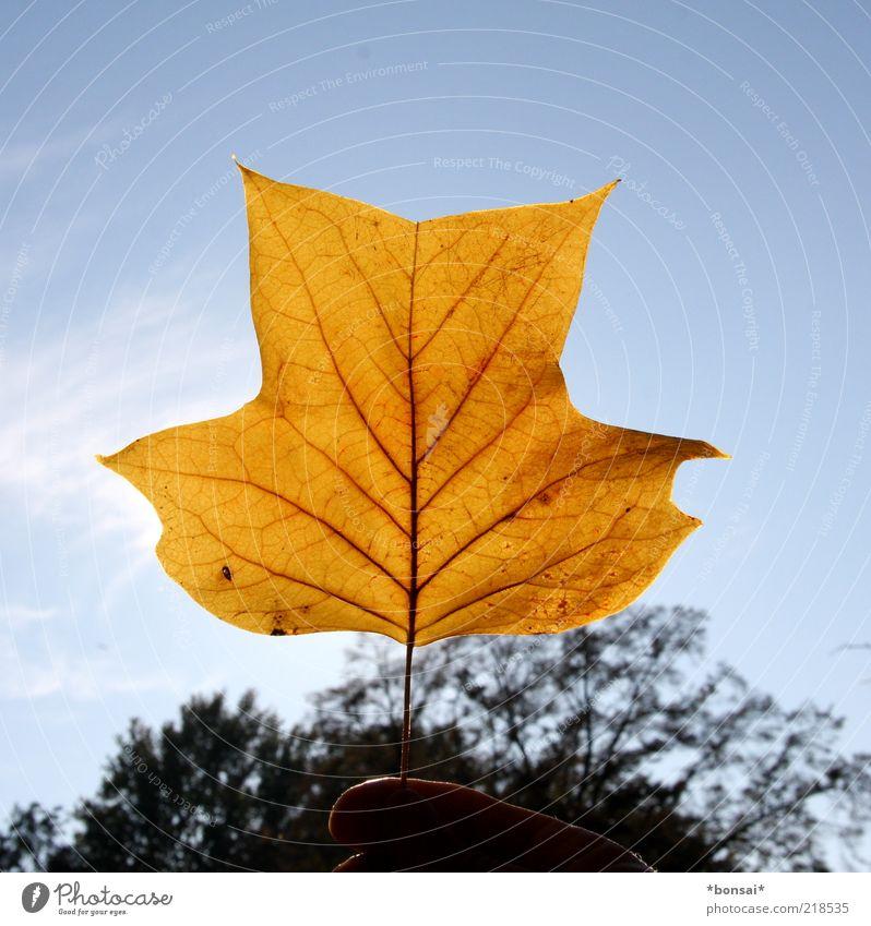 ahorn. glaub ich... Freizeit & Hobby Finger Natur Herbst Schönes Wetter Baum Blatt Park leuchten dünn natürlich trocken blau gelb Endzeitstimmung entdecken