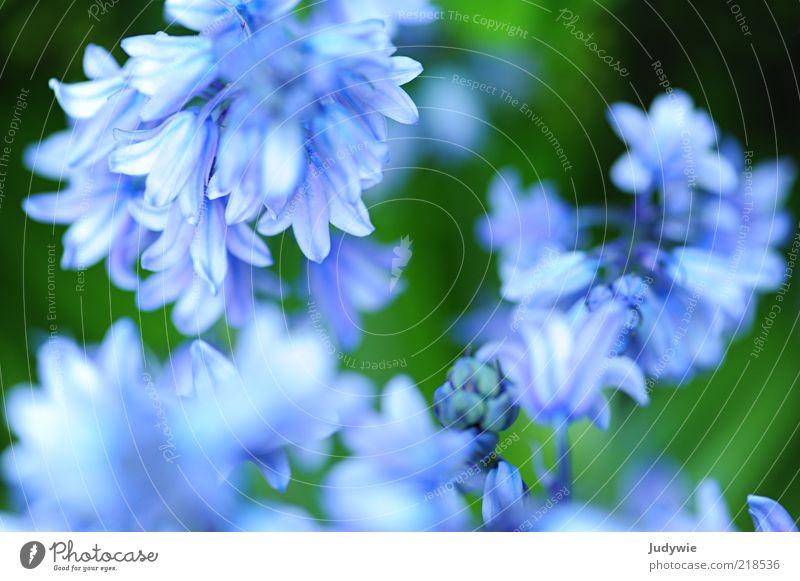 Zartes Blau II Natur schön Blume grün blau Pflanze Sommer Blüte Frühling Umwelt rein zart natürlich Blühend Duft Frühlingsgefühle