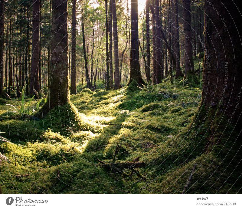 grüner Teppich Baum Sommer ruhig Wald frisch weich Sauberkeit wild Urwald Moos Farn Schottland Sonnenstrahlen Großbritannien