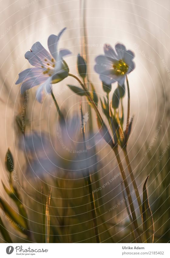 Stermiere im Abendlicht Natur Pflanze Sommer Blume ruhig Wald Blüte Frühling Innenarchitektur Design Zufriedenheit leuchten Feld Dekoration & Verzierung