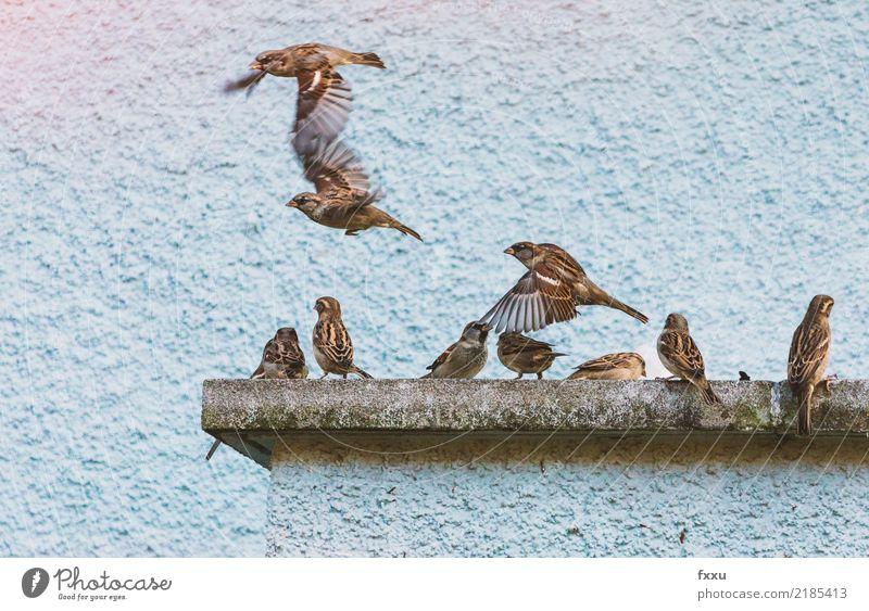 Haussperlinge im Flug Spatz fliegen ausfliegen Freitag Wochenende Vogel