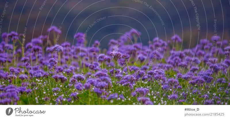 Bienenweide Sommer Natur Landschaft Pflanze Herbst Blume Blüte phacelia Feld Duft violett ruhig Sinnesorgane Umwelt Pollen tanacetifolia wild Wiesenblume