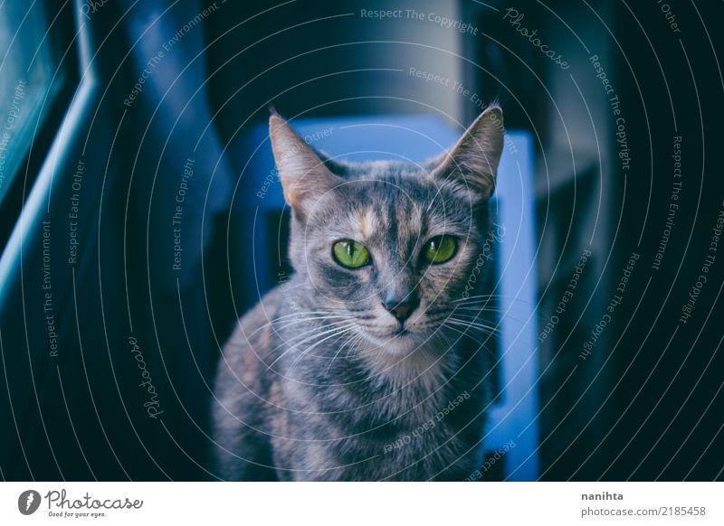 Graue Katze mit grünen Augen Tier Haustier Tiergesicht 1 beobachten sitzen dunkel authentisch schön listig niedlich blau grau Stimmung Tierliebe gehorsam