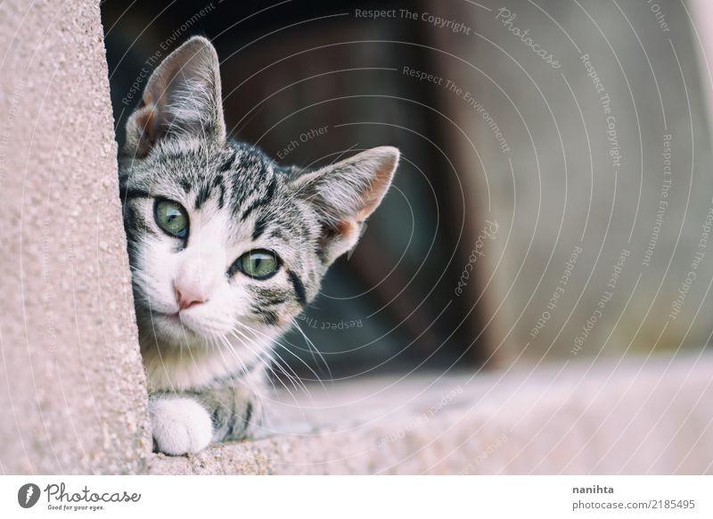 Neugierige und reizende Tabbykatze Tier Haustier Katze Tiergesicht Pfote 1 beobachten authentisch frei Freundlichkeit schön listig nah niedlich wild grau grün