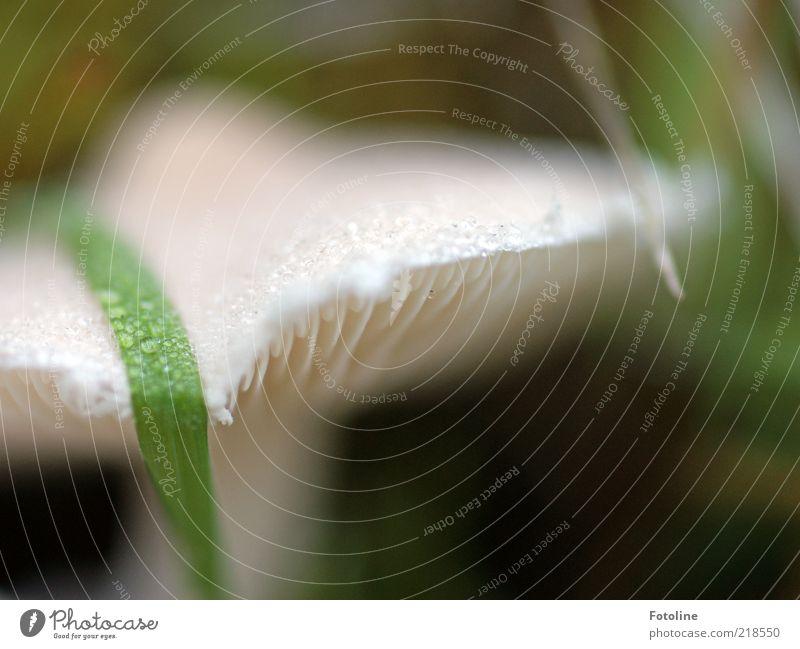 vorletztes Pilzfoto ;-) Natur Wasser weiß Herbst hell Umwelt nass Wassertropfen natürlich feucht Tau Pilz Urelemente Makroaufnahme Anschnitt Bildausschnitt