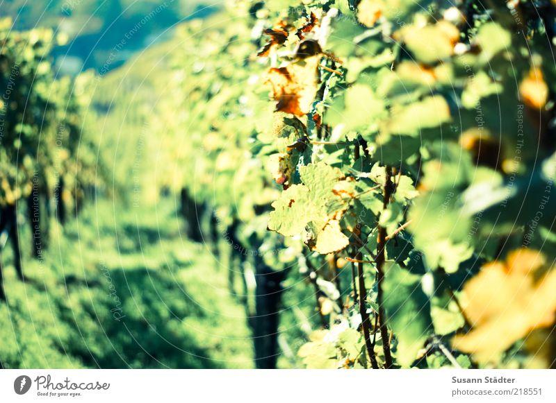 mal so richtig Weinen Sonne grün gelb Herbst Feld Hügel Blühend Weinberg Weinlese Weinbau Weinblatt